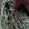 Lucerne Horse Hay