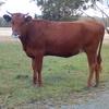 CopRice Beef Breeder Blend