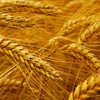ASW Wheat For Sale