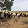 150 x Dorper Ewes