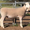 Depta Grove White Suffolk Rams to $26,000