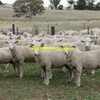 Shorn wether lambs