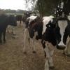 Friesian Steers x 70 @ Shepparton