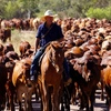 Mecardo Analysis - Support for young cattle drying up