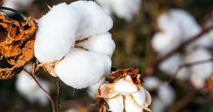 All eyes on world's fastest-growing cotton exporter Brazil