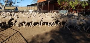410  1st cross  Dohne ewes ready to join to a ram of your choice. April/may drop 2017.