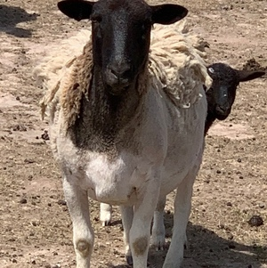 Dorper sheep and rams for sale