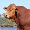 Dangarfield Cattle Co, Clonara, Woonallee N and Gowrie Bull Sale results