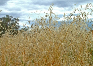 Tips for controlling Wild Oats