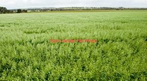 100 Ha of Standing New Season Oaten Crop For Sale
