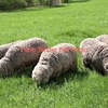 Agistment wanted for 2-400 Good Clean Sheep