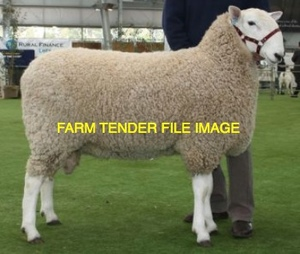 Border Leicester Rams Available