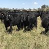 Te Mania to offer 960 Angus Breeding Females