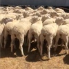110 x MERINO Ewe's For Sale Joined to Poll Dorset - Drop in Late May  / June