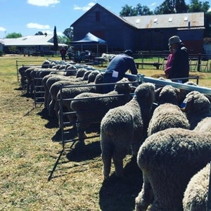 Boxleigh Park Merino's top first up sale