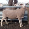 2019  Pepperton White Suffolk Rams For Sale now - high Lambplan Carcase Plus Index with new Eating Quality Index