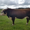 Hereford Bull For Sale - Ready for Delivery 16th October on