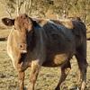 Murray Grey Cows - Calving Late Oct.