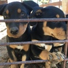 Kelpie Pups x 3 (Females Only)