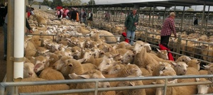 Trade weight Lambs and Mutton up to $10/head dearer on low numbers at Bendigo