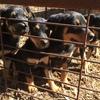 Kelpie Pups x 4 (Females Only)