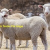 X Bred Store Lambs wanted for Feedlotting - Must be 30kg plus