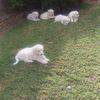 Maremma Puppies x5 Males