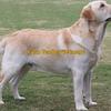WANTED purebred Labrador, retriever, kelpie or boarder collie puppy