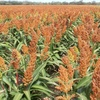 What's possible on the Sorghum yield frontier