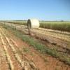 500 Bales of New Season Wheaten Rolls