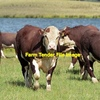 Hereford Cows in Calf or Calf at foot WANTED