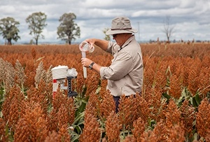 Sorghum Crop forecast close to average but long a long way to go