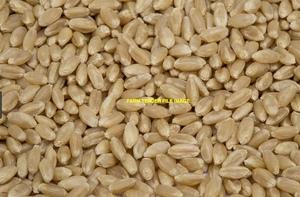 250mt SFW Wheat