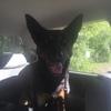 WORKING DOG PURE BRED KARANA KELPIE