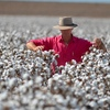 Cotton could be a big part of the Northern Australian Ag push