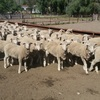 Long term agistment/lease wanted 900 ewes