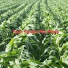 Black & White Sorghum in 20 KG Bags Get Your Summer Crop in now... - Grain & Seed
