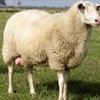 Ewes Wanted For milking East Fresain Or Awassi Sheep.