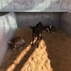 Dairy breed x-bred bull calves