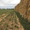 Oaten & Lucerne Hay for Sale in rolls and Squares see test - Squares Shedded