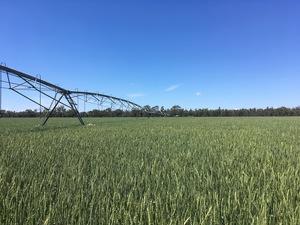 Forage Wheat - Petrel Wheat Seed
