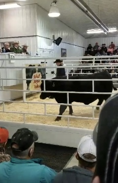 Video - Bidding ends at $800,000 for this Schaff Angus Bull