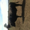 Wagyu Full Blood (Stud) Bulls for sale