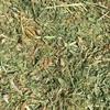 Vetch Hay 8x4x3-300 x 620 KG Approx Bales