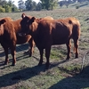 Quiet Red Angus Heifers Ready to join.