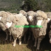 Merino sheep wanted
