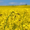 Manage your canola risks to capture upside