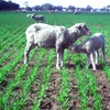 How best to graze unsuccessful crops