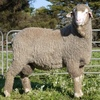 Ridgway Advance Poll Merino's average $2251