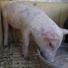 Male Miniature pigs for sale- Sold desexed (Drought sale) Call Deb 03 54387251